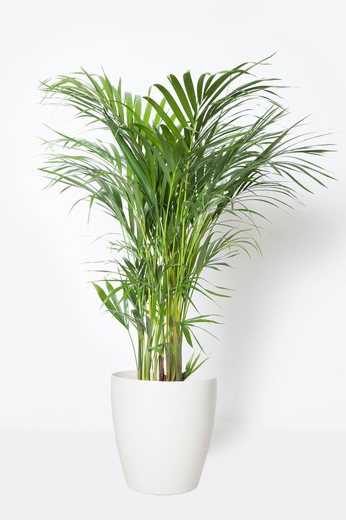 観葉植物 アレカヤシ(8号鉢)