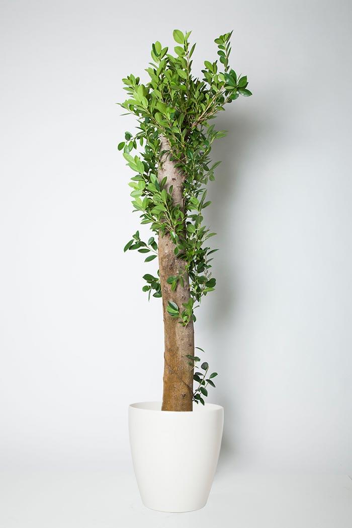 観葉植物 ガジュマル(10号鉢)
