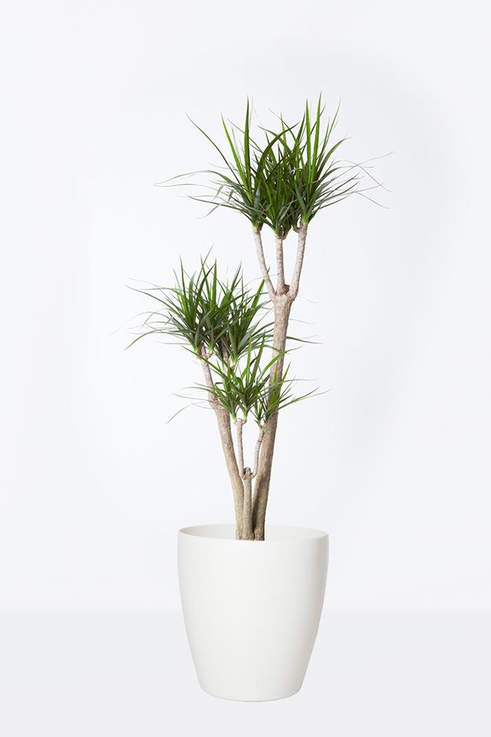 観葉植物 ドラセナ コンシンネ(8号鉢)