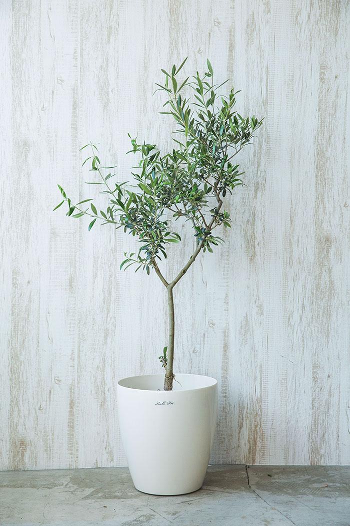観葉植物 オリーブの木(7号鉢)