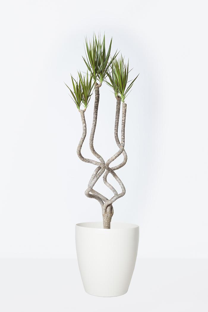 観葉植物 ドラセナ コンシンネ 龍(8号鉢)