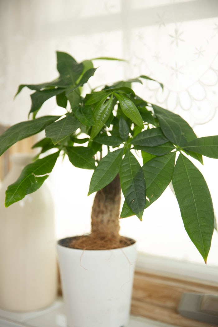 観葉植物 パキラ(4号鉢)