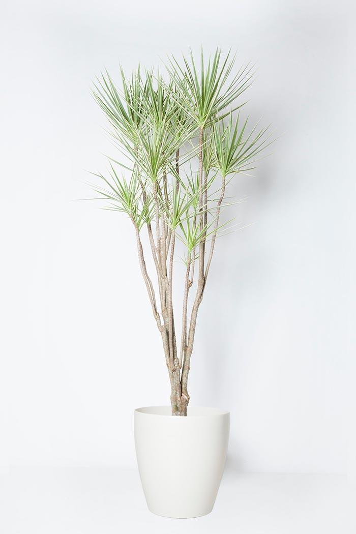 観葉植物 ドラセナ コンシンネホワイボリー(10号鉢)
