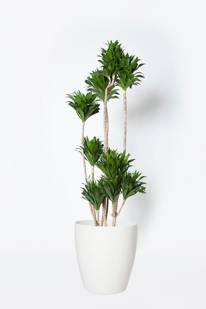 観葉植物 ドラセナ コンパクター(8号鉢)