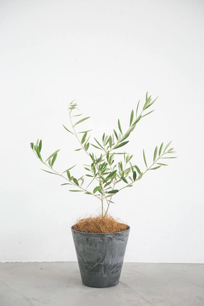 観葉植物 オリーブの木(4号鉢)