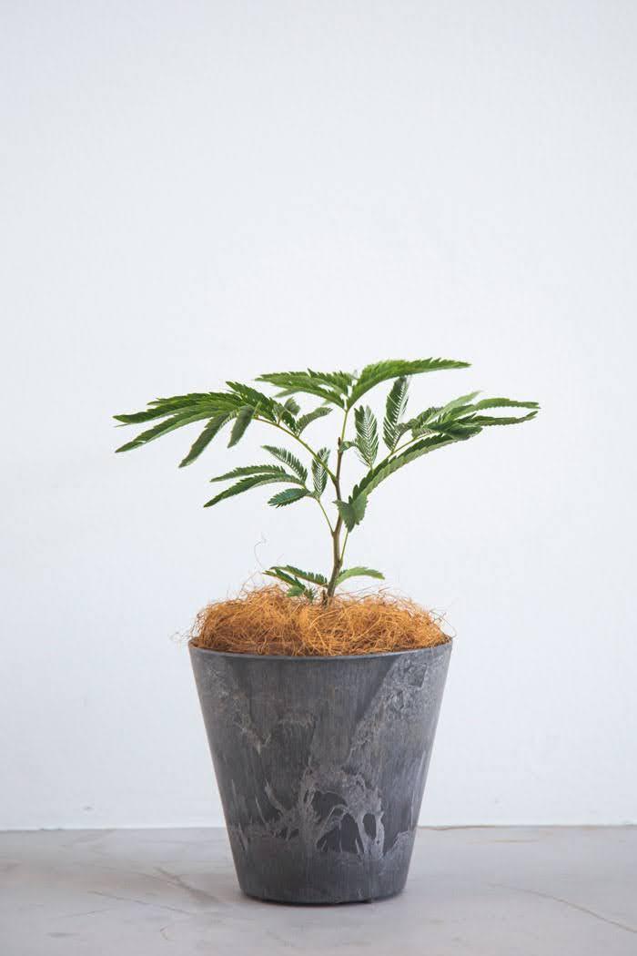 観葉植物 エバーフレッシュ(4号鉢)