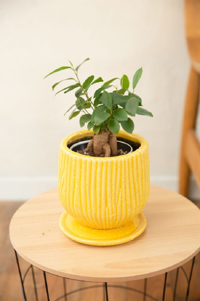 観葉植物 ガジュマル(4号鉢)