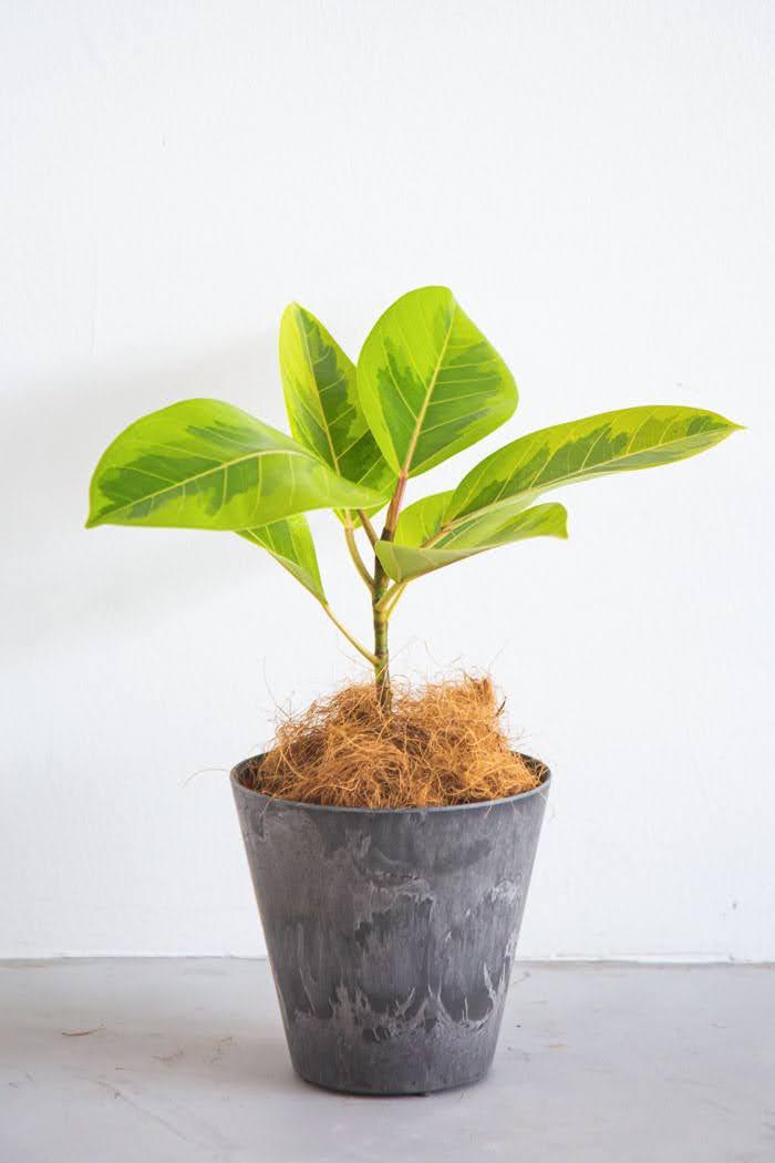 観葉植物 フィカス アルテシマ(4号鉢)