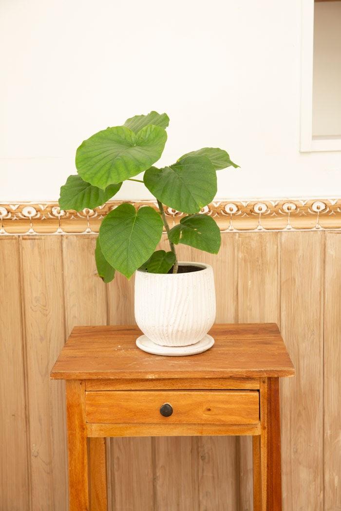観葉植物 フィカスウンベラータ(4号鉢)