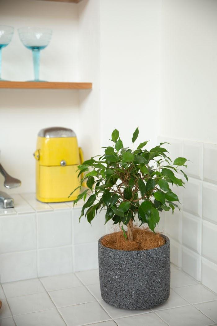 観葉植物 フィカス ベンジャミン(4号鉢)