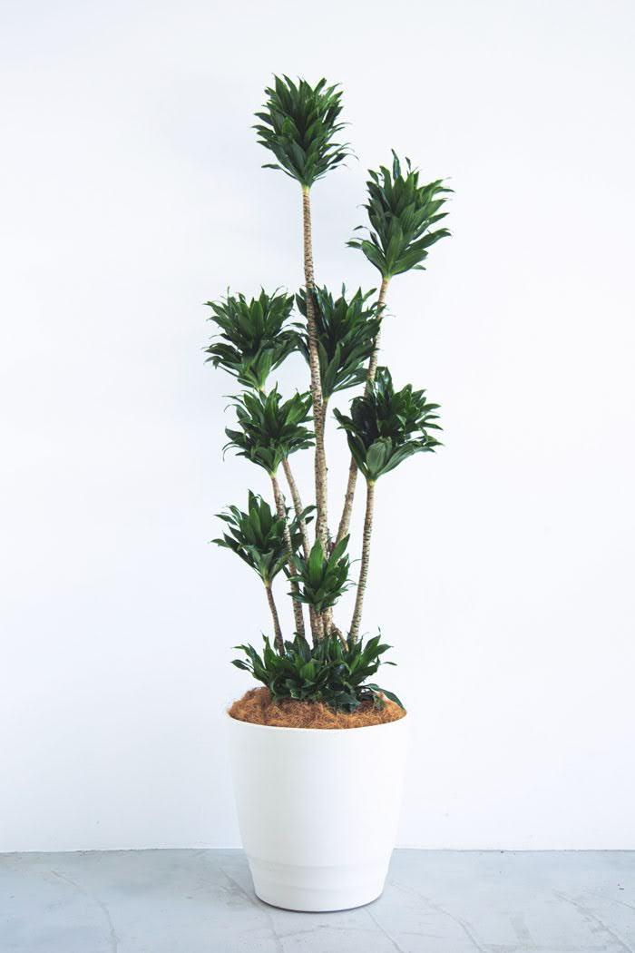 観葉植物 ドラセナ コンパクター(10号鉢)