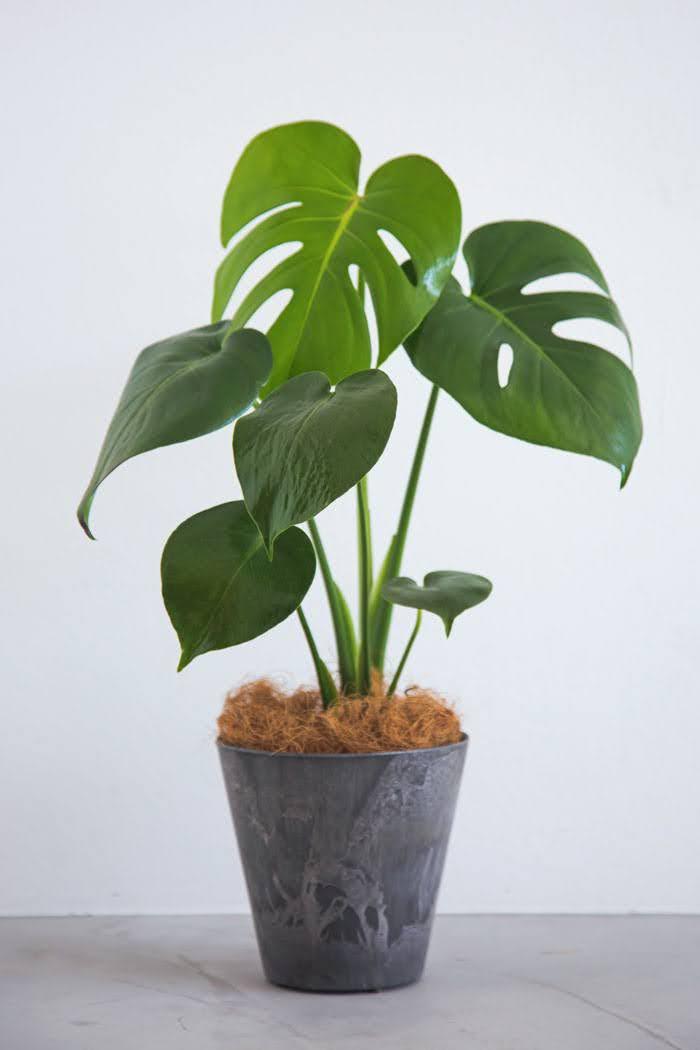 観葉植物 モンステラ(4号鉢)