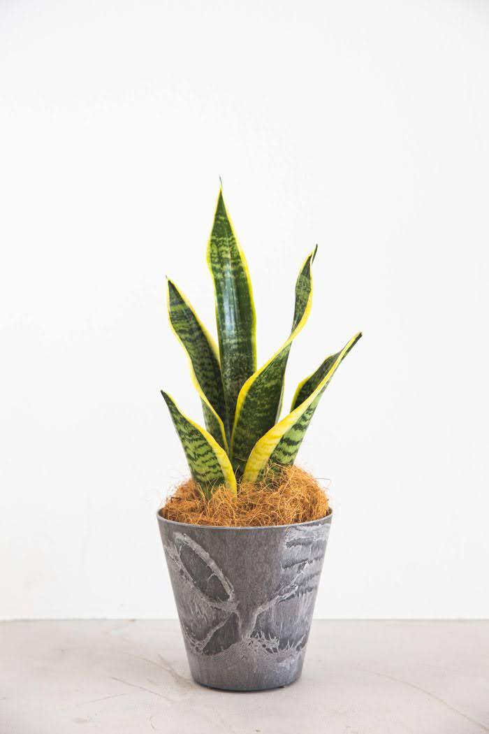 観葉植物 サンスベリア ローレンチ(4号鉢)