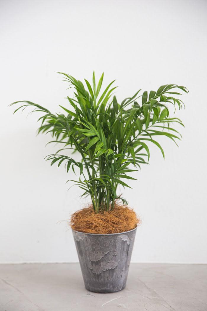 観葉植物 テーブルヤシ(4号鉢)