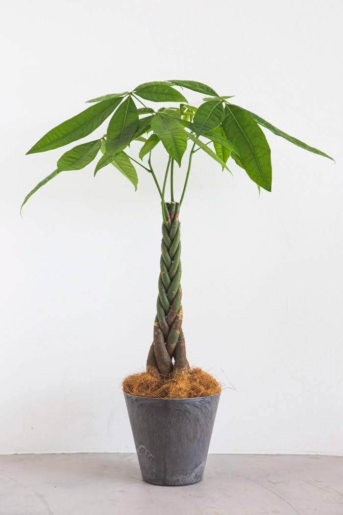 観葉植物 パキラ(6号鉢)