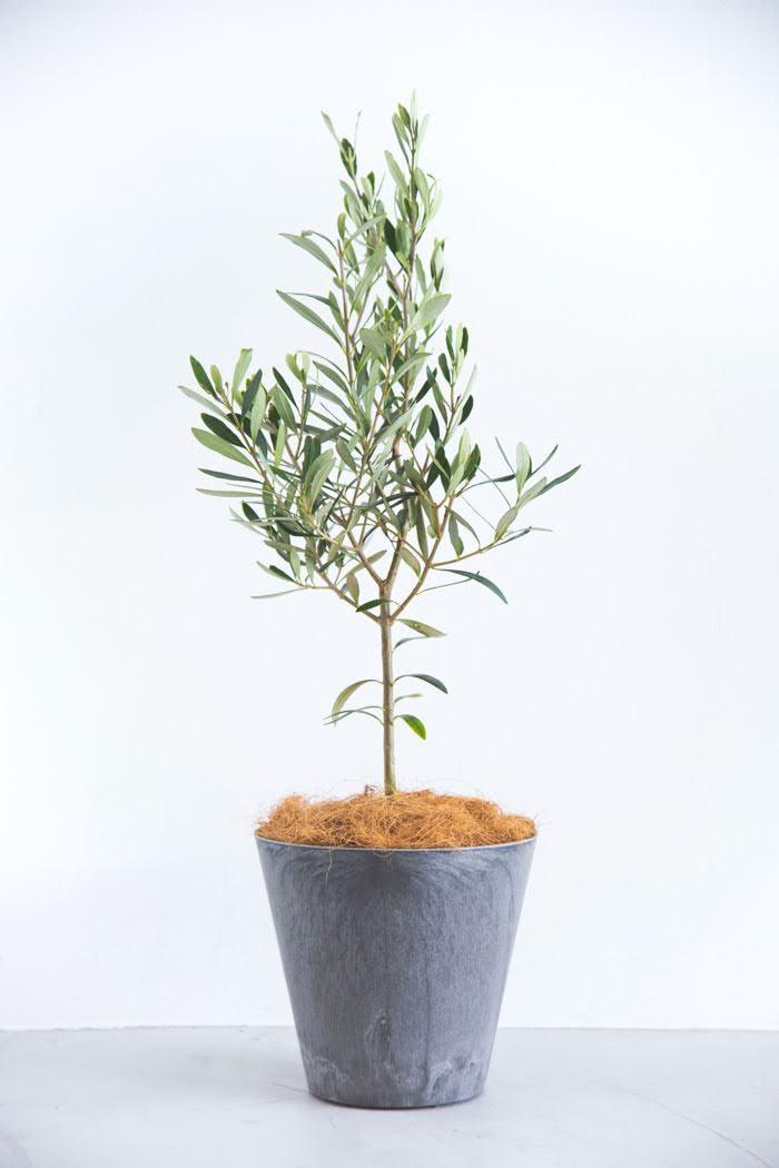 観葉植物 オリーブの木(6号鉢)
