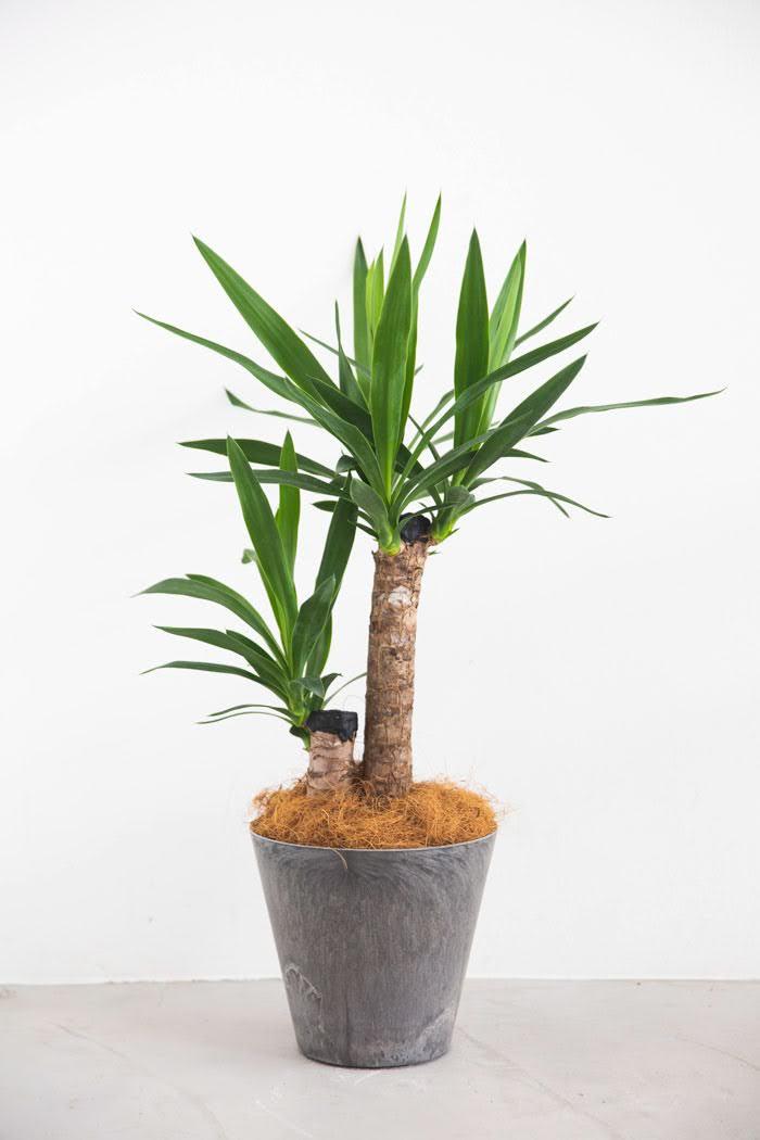 観葉植物 ユッカ(6号鉢)