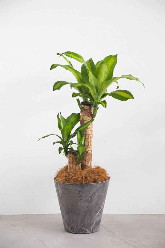 観葉植物 ドラセナ マッサンゲアナ(6号鉢)