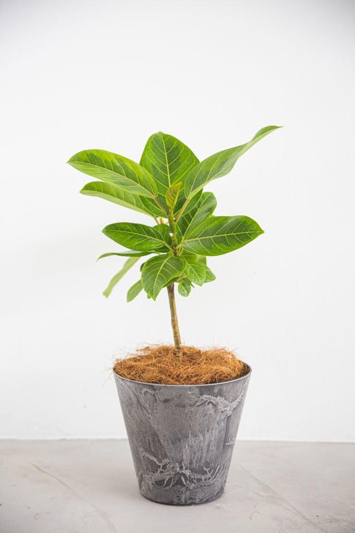 観葉植物 フィカス アルテシマ(6号鉢)