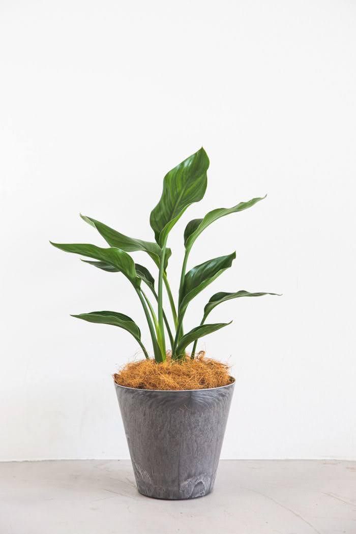 観葉植物 ストレチアレギネ(6号鉢)