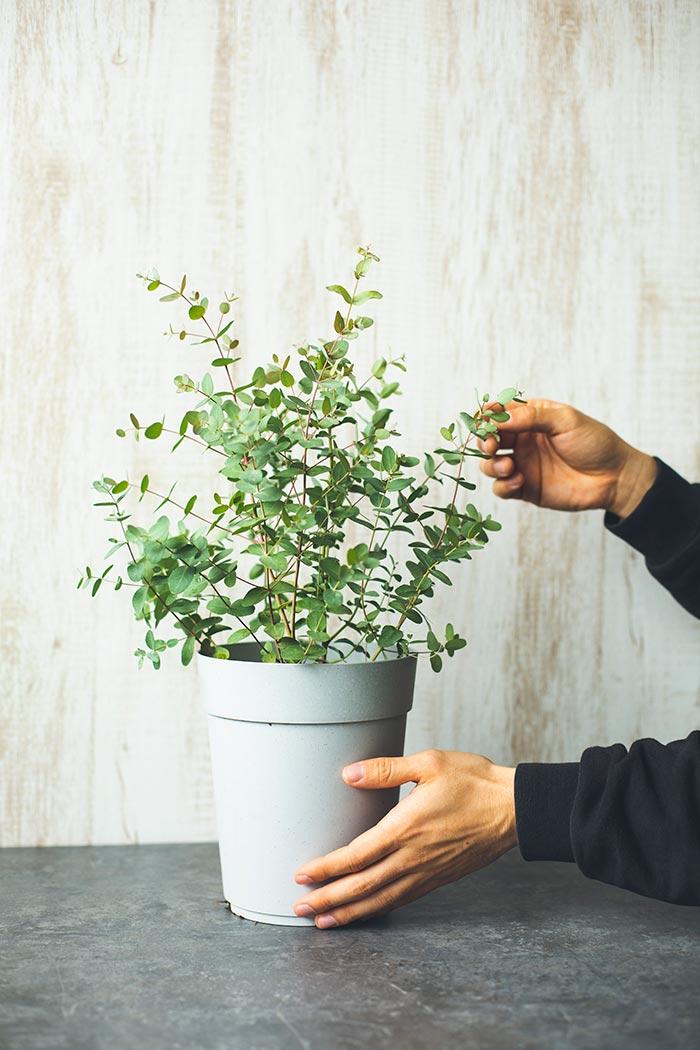 観葉植物 ユーカリグニー(6号鉢)