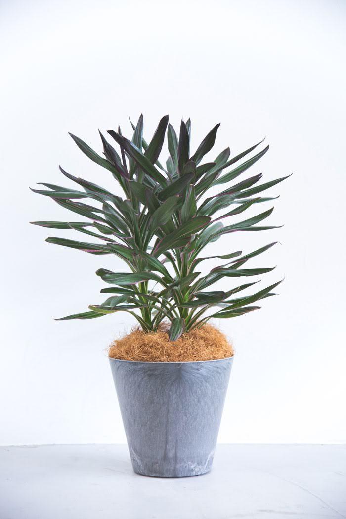 観葉植物 コルジリネサンゴ(6号鉢)