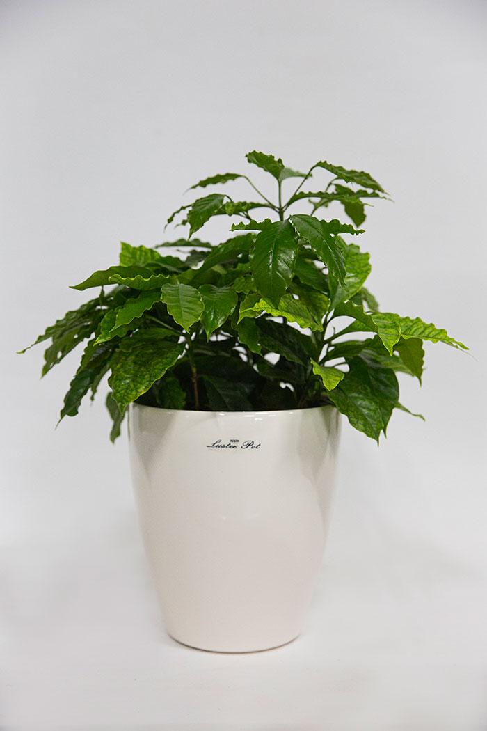 観葉植物 コーヒーの木(6号鉢)