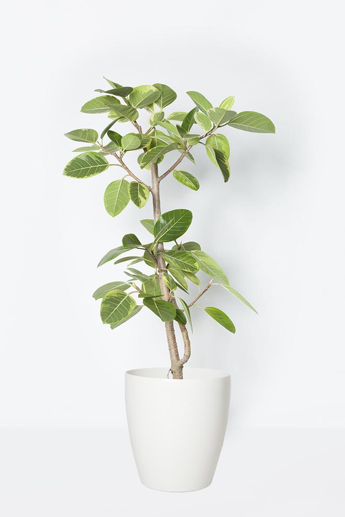 観葉植物 フィカス アルテシマ(8号鉢)