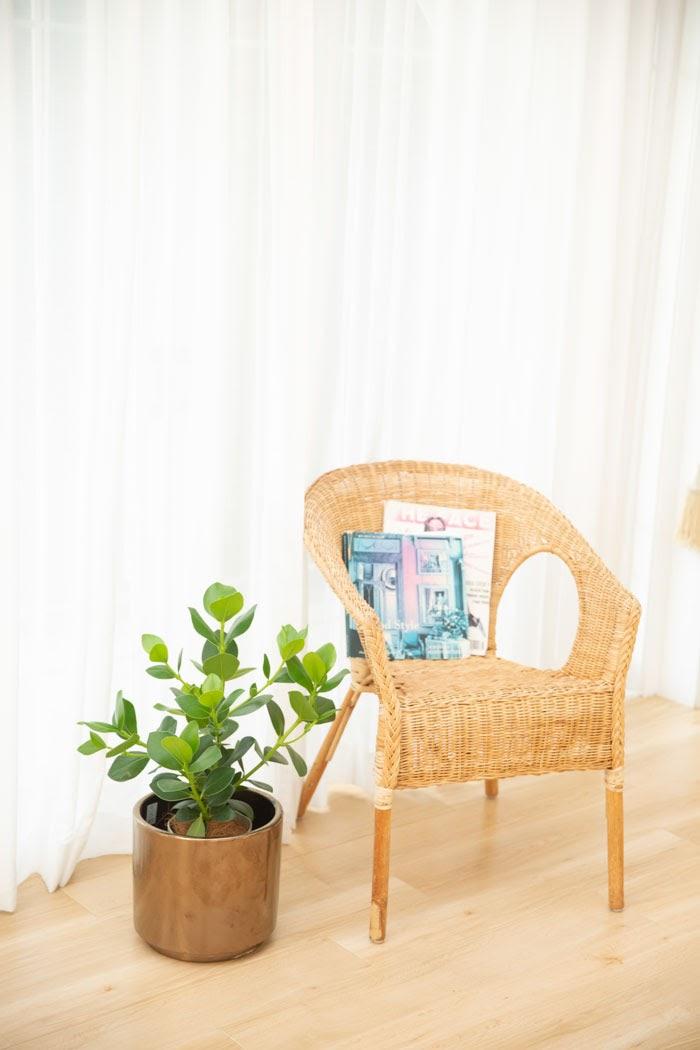観葉植物 クルシア ロゼアプリンセス(6号鉢)