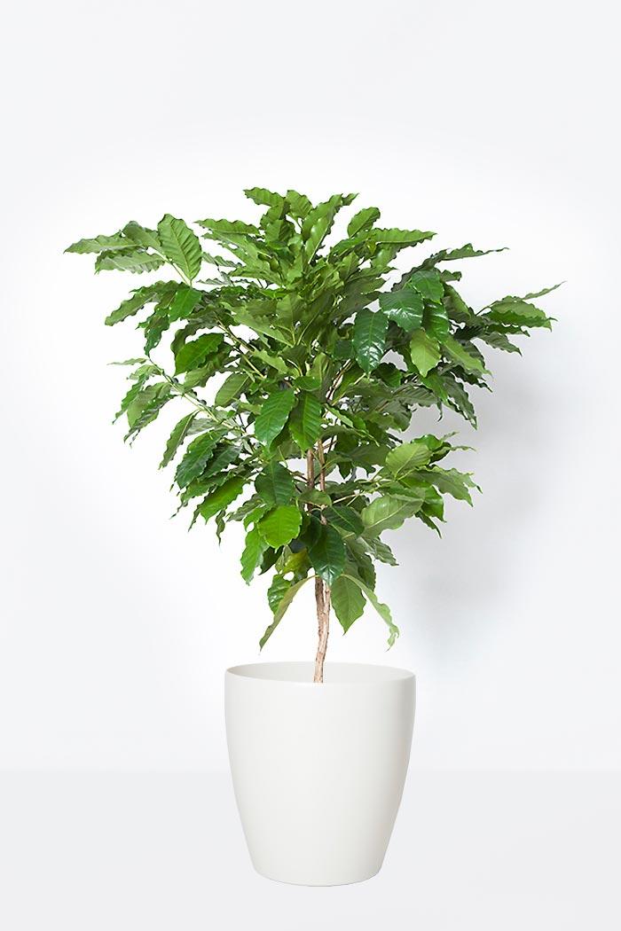 観葉植物 コーヒーの木(8号鉢)