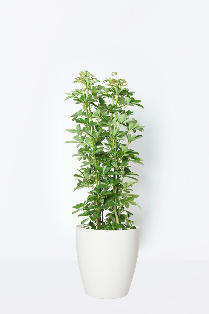 観葉植物 ホンコンカポック(8号鉢)