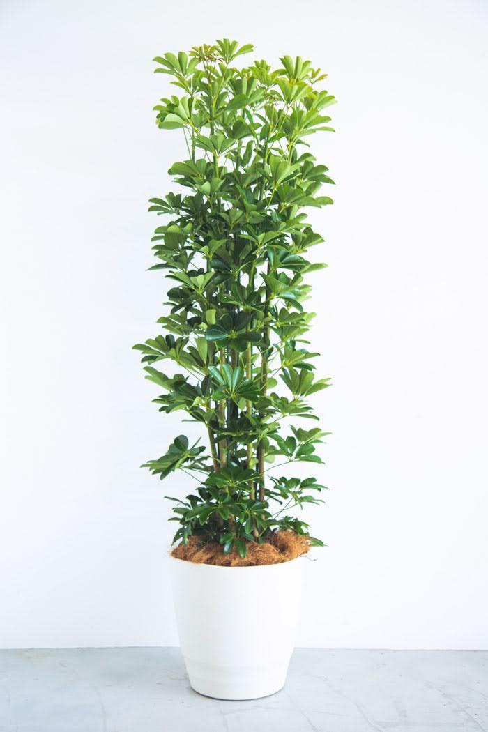 観葉植物 ホンコンカポック(10号鉢)