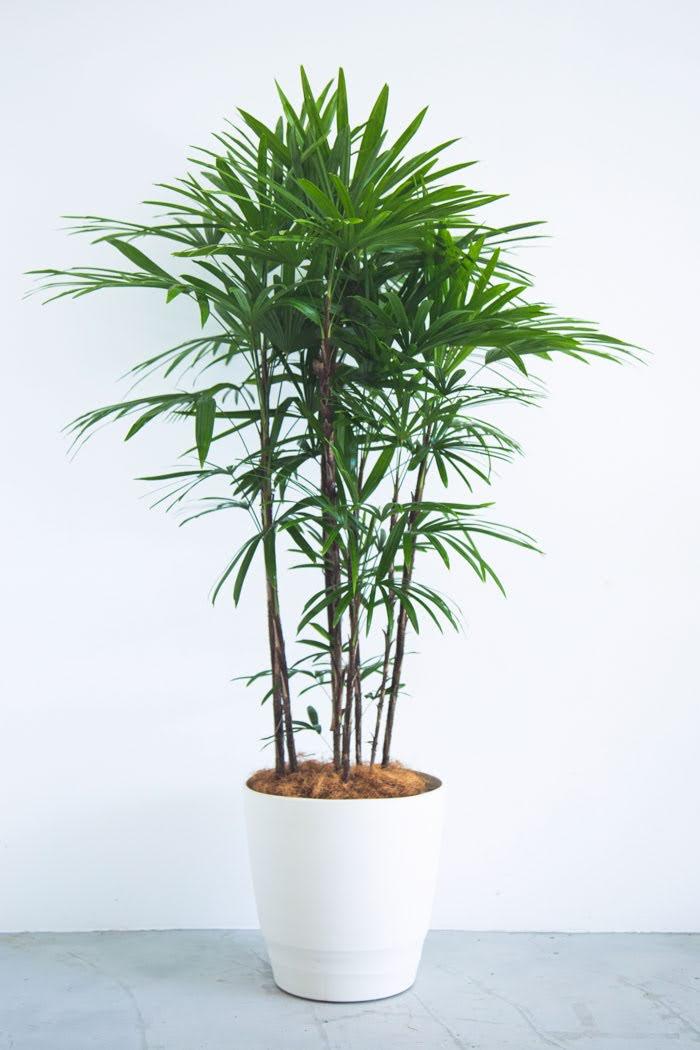 観葉植物 シュロチク(10号鉢)