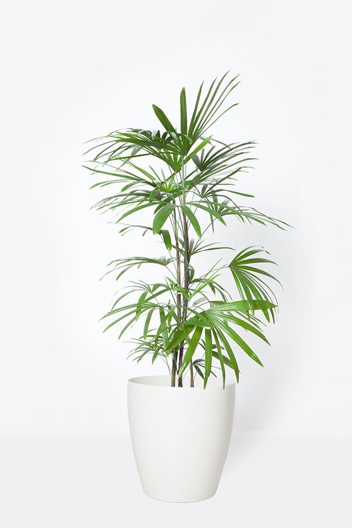 観葉植物 シュロチク(8号鉢)