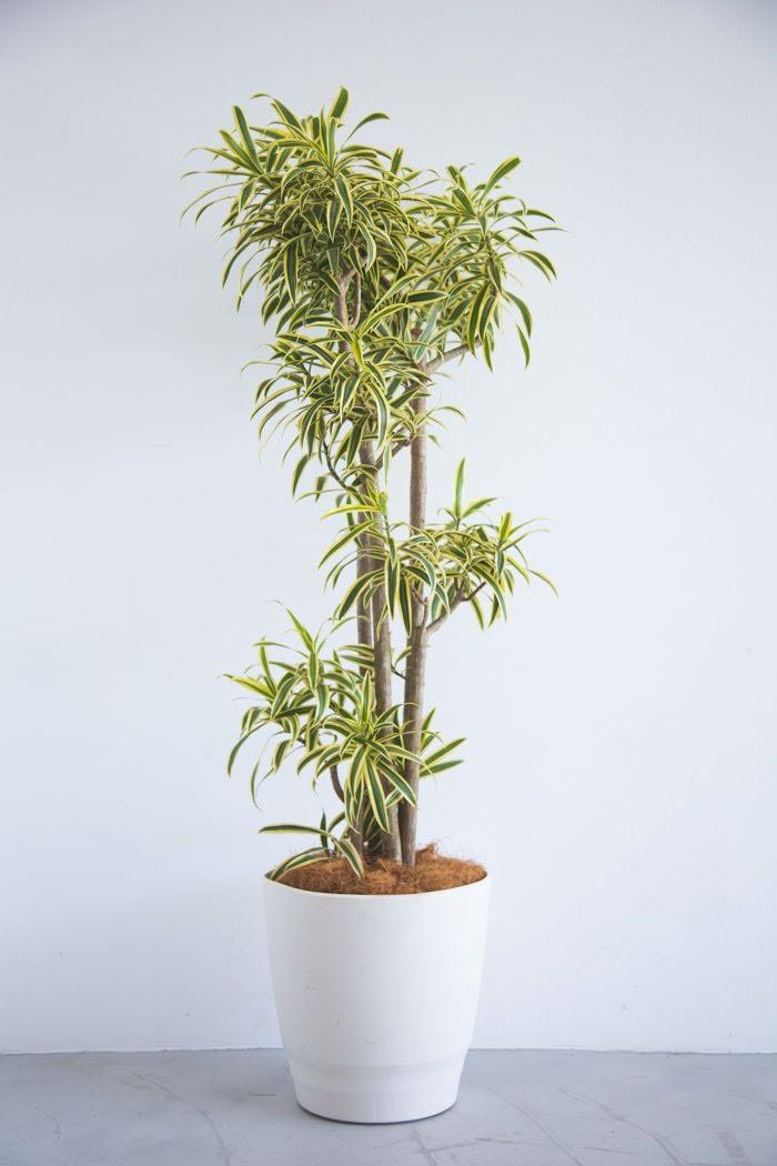 観葉植物 ドラセナ ソングオブインディア(10号鉢)