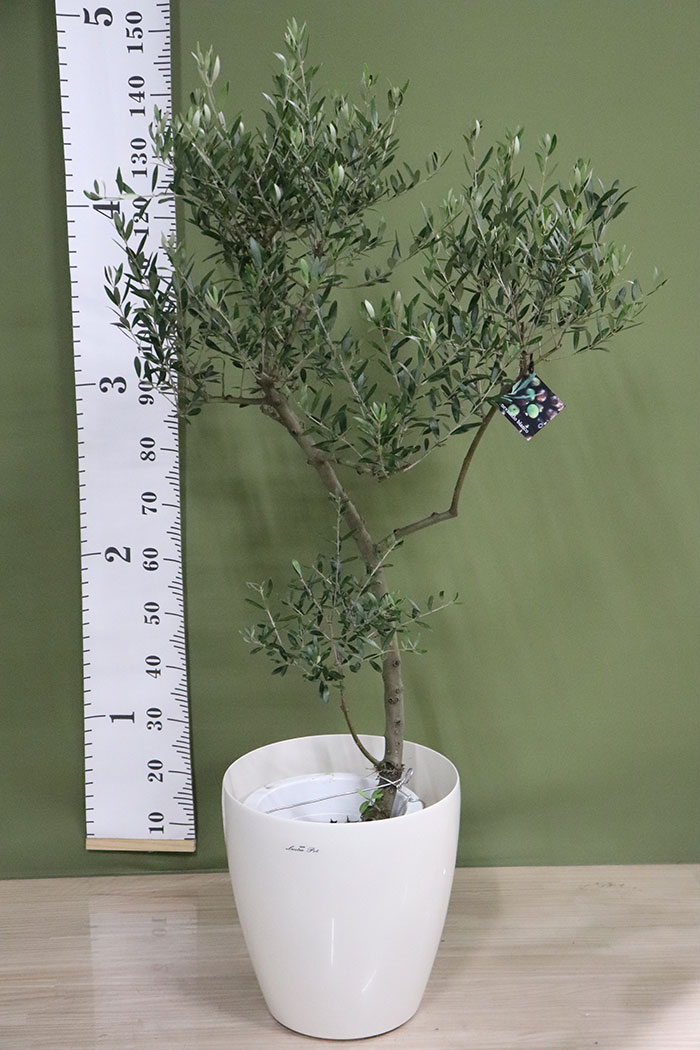観葉植物 オリーブの木(創樹) ※1点物(9号鉢)2