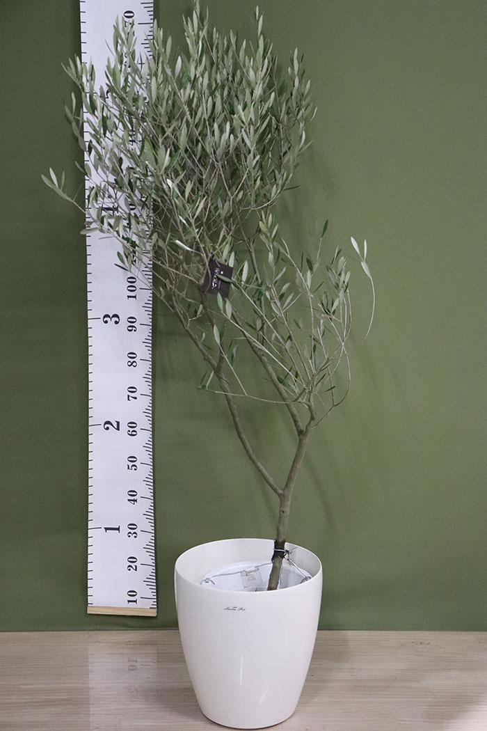 観葉植物 オリーブの木(創樹) ※1点物(9号鉢)3