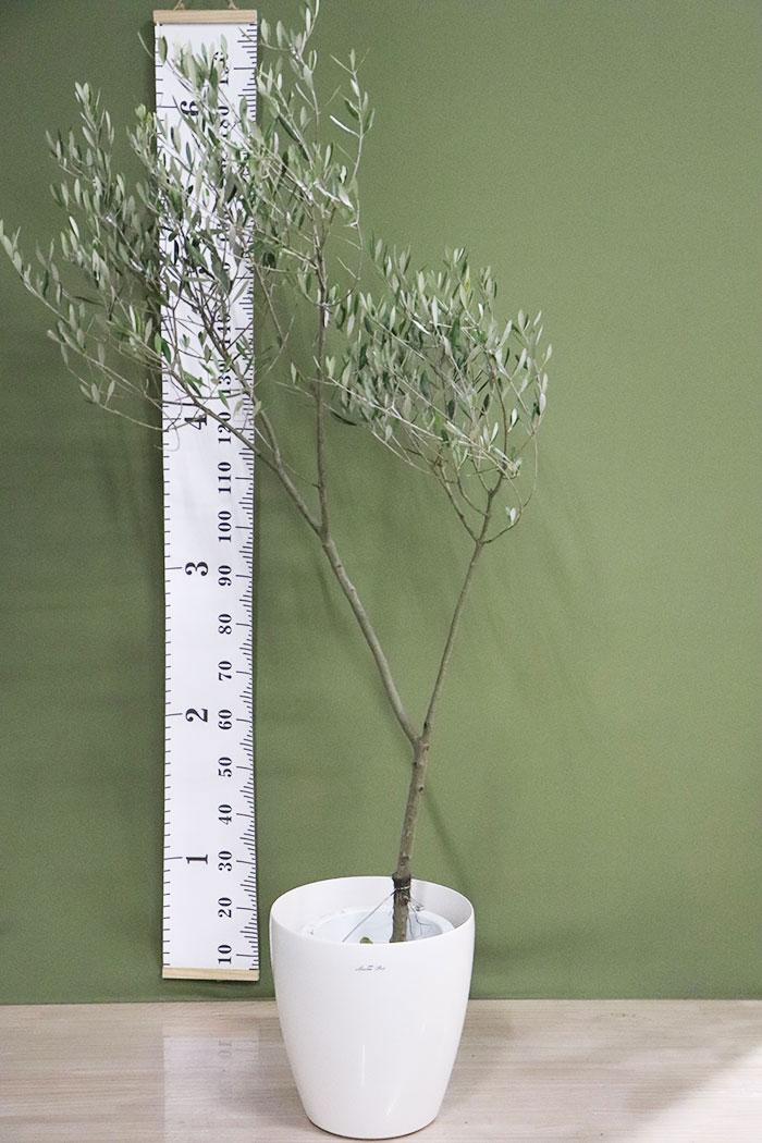 観葉植物 オリーブの木(創樹) ※1点物(9号鉢)7