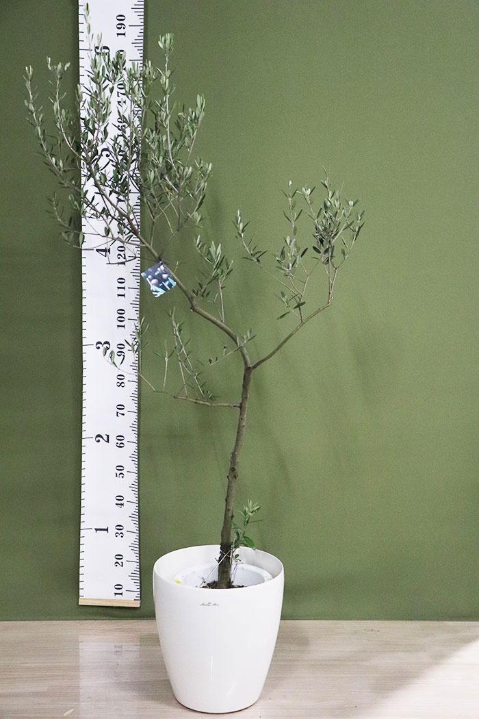 観葉植物 オリーブの木(創樹) ※1点物(9号鉢)8