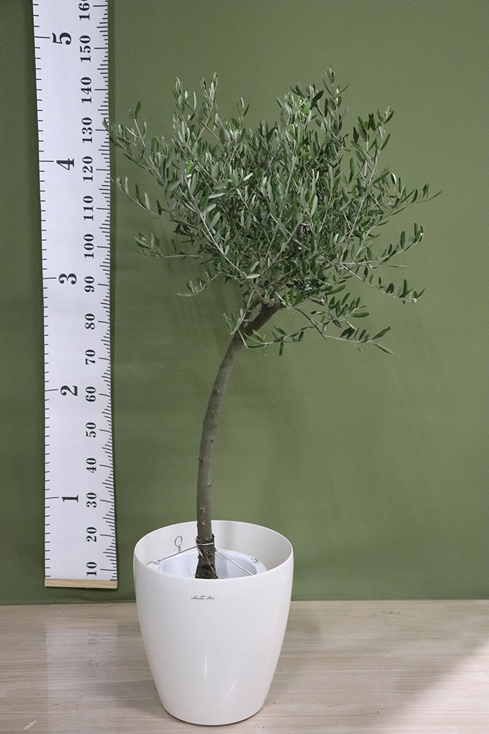 観葉植物 オリーブの木(創樹) ※1点物(9号鉢)9