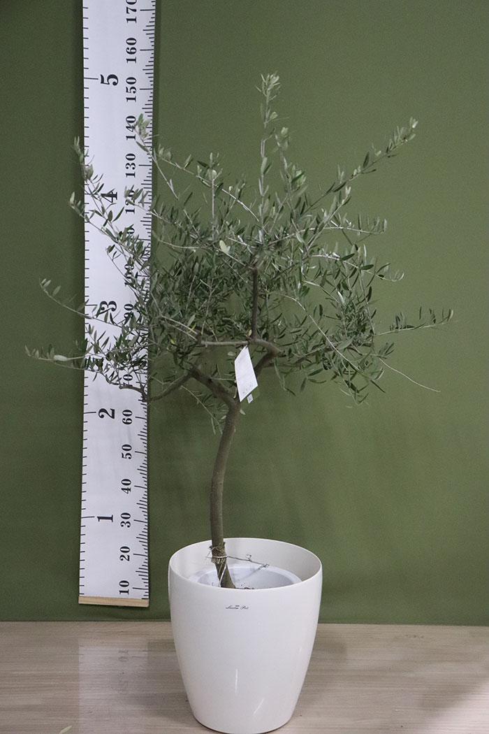 観葉植物 オリーブの木(創樹) ※1点物(9号鉢)10