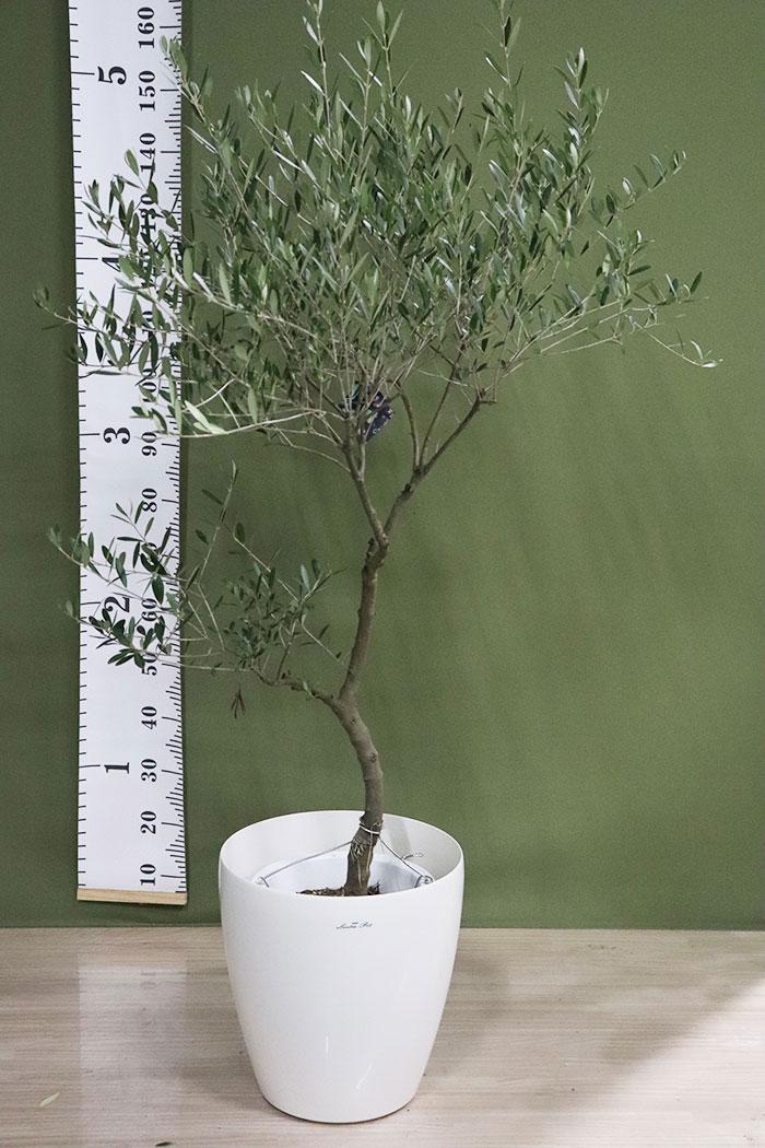 観葉植物 オリーブの木(創樹) ※1点物(9号鉢)12