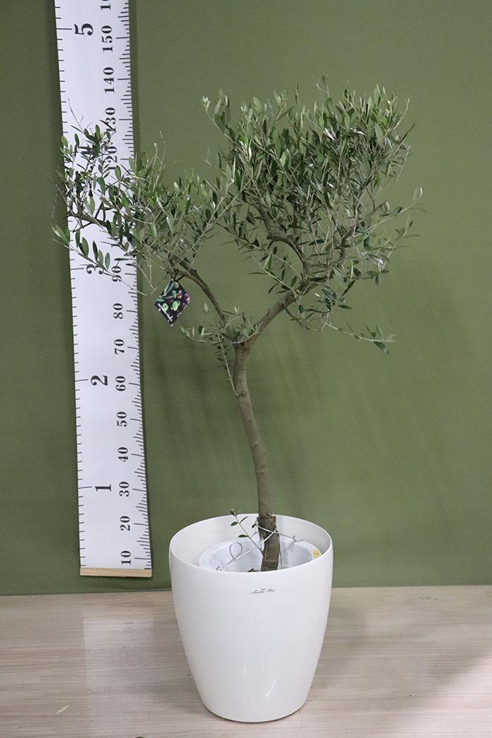 観葉植物 オリーブの木(創樹) ※1点物(9号鉢)13