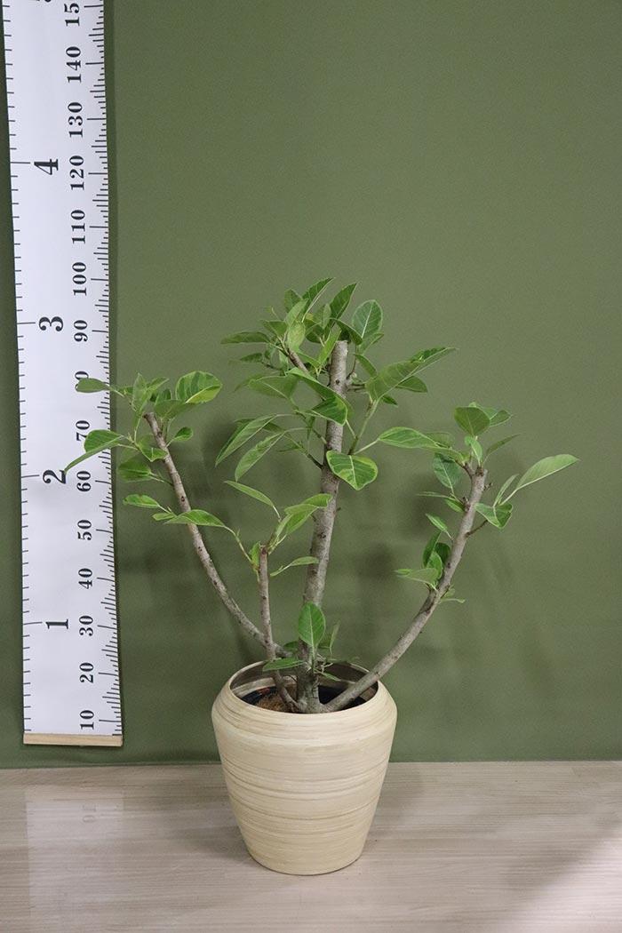 観葉植物 フィカスアルテシマ ※一点物(8号鉢)②