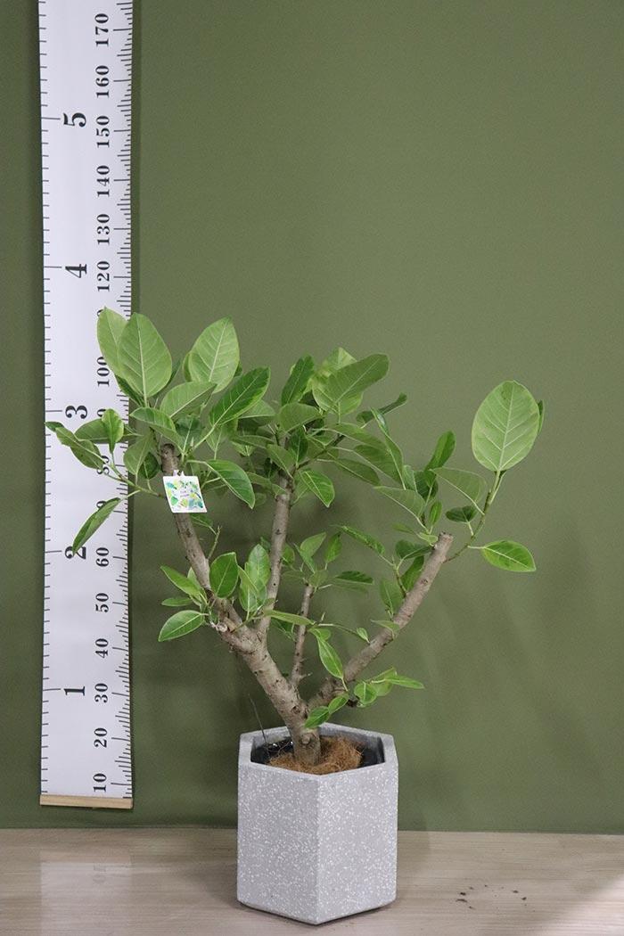 観葉植物 フィカスアルテシマ ※一点物(8号鉢)④
