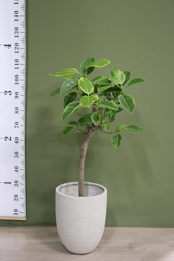 観葉植物 フィカスアルテシマ ※一点物(8号鉢)⑤
