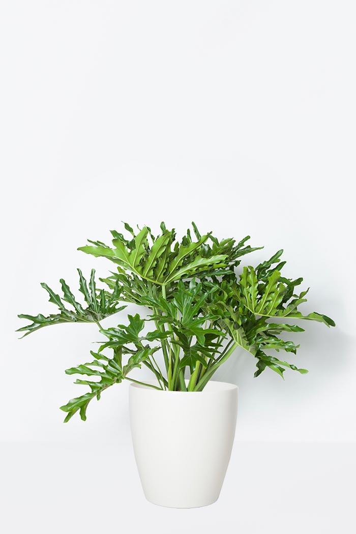 観葉植物 セロウム ヒトデカズラ(8号鉢)