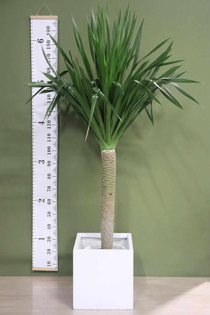 観葉植物 ドラセナ・パラオ ※一点物(10号鉢)