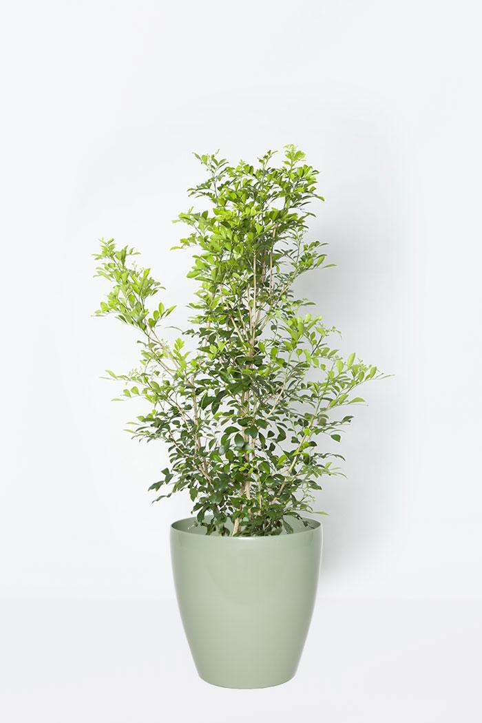 観葉植物 シルクジャスミン(8号鉢)