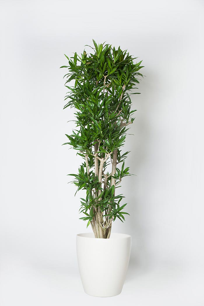 観葉植物 ドラセナ ソングオブジャマイカ(10号鉢)